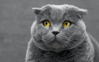Allergiák a macskáknál