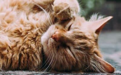 Miért Dorombolnak a Macskák?